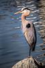 GBH-Rio 3-0 F LR 5-21-18 J248 (sunspotimages) Tags: heron greatblueheron blueheron greatheron herons greatblueherons nature wildlife birds bird