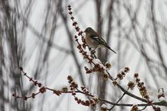 _MG_9081 (Foto Massimo Lazzari) Tags: revisione fotomassimolazzari bird inverno neve