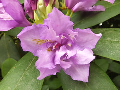 Double Flowered Rhododendron (Cornishcarolin. Stupid busy!! xx) Tags: cornwall httpswwwnationaltrustorguktrelissick flowers trees rhododendrons plants nature