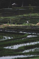 Ricefields (hermez) Tags: bali ricefield worker farmer indonesia travel field depthoffield