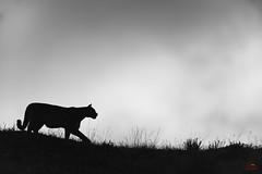 The Puma on the Hill (Glatz Nature Photography) Tags: chile glatznaturephotography nature nikond850 patagonia southamerica torresdelpainenationalpark ventana wildanimal wildlife puma mountainlion cougar silhouette blackandwhite monochrome pumaconcolor felisconcolor