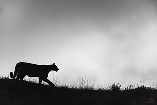 The Puma on the Hill
