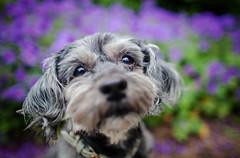 22/52 - Sweet As (Kirstyxo) Tags: teddy cute dog portrait flowers purpleflowers 2252 52weeksfordogs 52weeksfordogs2018 52weeksfordogs18