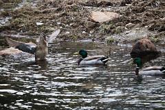 "Flapping (ottomano.jason) Tags: duck ducks nature animals animal maine acadia ""acadianationalpark"" ""barharbor"" quack water wildlife parks ""nationalpark"" hike hiking outside outdoors"
