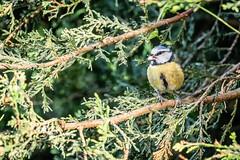 Blue Tit (_John Hikins) Tags: bird birds blue tit animal wildlife nikon nikkor nature devon d500 torquay garden branch hedge eating eat pellet suet food feeding tits sigma 150600mm 150600c 150600 contemporary