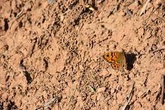 Lasiommata megera en Huesca (esta_ahi) Tags: huesca elgrado aragón spain españa испания mariposa butterfly nymphalidae lepidoptera insectos fauna lasiommata megera lasiommatamegera satyrinae