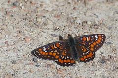 Suur-mosaiikliblikas; Euphydryas maturna; Scarce fritillary (urmas ojango) Tags: lepidoptera liblikalised insecta putukad insects butterfly koerlibliklased nymphalidae suurmosaiikliblikas euphydryasmaturna scarcefritillary