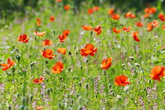 Poppy Field (eric robb niven) Tags: ericrobbniven poppies wildlife wildflower nature scotland perthshire cycling springwatch