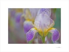 Kállos (E. Pardo) Tags: kállos schönheit beauty belleza flores flowers blumen iris lirios colores colors farben formas formen forms primavera printemps spring admont steiermark austria