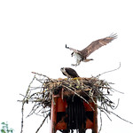 new osprey nest on top of old rusty crane 3 thumbnail
