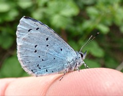 Holly Blue (Peanut1371) Tags: hollyblue insect butterfly butterflie finger blue nationalgeographicwildlife