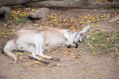 Australia_2018-54.jpg (emmachachere) Tags: subtropical trees hike waterfall boatride springbrook australia rainforest kanagroo animals koala brisbane boat lonepinekoalasanctuary