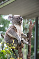 Australia_2018-86.jpg (emmachachere) Tags: subtropical trees hike waterfall boatride springbrook australia rainforest kanagroo animals koala brisbane boat lonepinekoalasanctuary