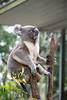 Australia_2018-86.jpg (emmachachere) Tags: subtropical trees hike waterfall boatride springbrook australia rainforest kanagroo animals koala brisbane boat lonepinekoalasanctuary