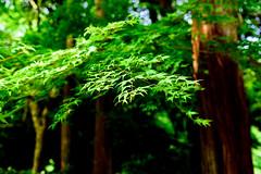 Fresh green maple in Jochiji Temple in Kamakura : 新緑のモミジ(北鎌倉・浄智寺) (Dakiny) Tags: 2018 spring may earlysummer freshgreen japan kanagawa kitakamakura outdoor jochiji temple nature garden park plant tree leaf maple green bokeh nikon d750