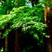 Fresh green maple in Jochiji Temple in Kamakura : 新緑のモミジ(北鎌倉・浄智寺)