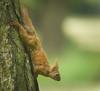 Descender (hedera.baltica) Tags: squirrel redsquirrel eurasianredsquirrel wiewiórka wiewiórkapospolita sciurusvulgaris