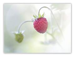Strawberry fields. (Vicensalamas) Tags: macro color canon frutas fresas primavera