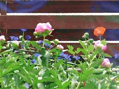 Nyt kukassa (totinkoti) Tags: kukat