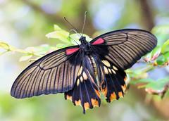 Feeding in the Mist (dianne_stankiewicz) Tags: birdwingbutterfly butterfly insect nature mist feeding nectar
