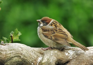 Baby Tree Sparrow..x