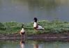 Shelduck (Tadorna tadorna) - Seaton Wetlands, Seaton, Devon - 3 June 2018 (Dis da fi we) Tags: shelduck tadorna seaton wetlands devon