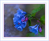 Virginia Bluebells (hey its k) Tags: 2018 backyard bluebells flowers nature virginiabluebells hamilton ontario canada ca img0776e canon6d ef100mm