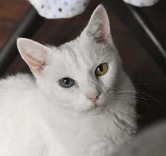 Charlie (rootcrop54) Tags: charlie white allwhite oddeyed oddeyes heterochromia eye contact neko macska kedi 猫 kočka kissa γάτα köttur kucing gatto 고양이 kaķis katė katt katze katzen kot кошка mačka gatos maček kitteh chat ネコ