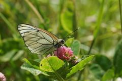 Барышня Боярышница / Aporia crataegi (natali22206) Tags: бабочка насекомые рязанскаяобласть aporia crataegi aporiacrataegi
