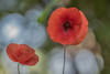 Pipacs (Papaver rhoeas) (Torok_Bea) Tags: papaver pipacs nikon nikond5500 sigma sigma105lens summer flower flowers redflowers vadmák papaverrhoeas redflower beautiful wildflower bokeh bokehflowers