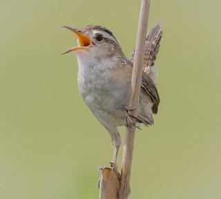 Vocal Marsh Wren