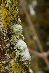Nieve y Líquenes (Hachimaki123) Tags: liquen parcnaturaldelmontseny montseny santafe santafedelmontseny neu nieve snow