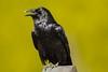 Call to order (ChicagoBob46) Tags: commonraven raven bird yellowstone yellowstonenationalpark nature wildlife coth5 ngc npc