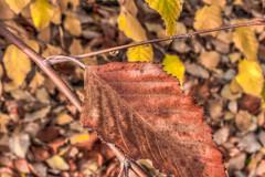 Ending Cycle (davidseibold) Tags: america bakersfield california fallcolor jfflickr kerncounty leaf photosbydavid platoct postedonflickr unitedstates usa