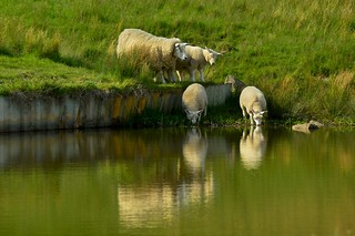 Thirsty Grass Eaters .