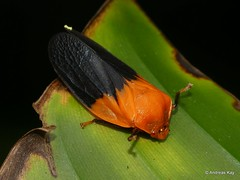 Froghopper, Cercopidae (Ecuador Megadiverso) Tags: andreaskay cercopidae cercopoidea ecuador froghopper hemiptera truebug