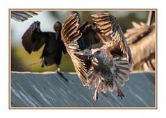 Aerial Ballet (JohnKuriyan) Tags: alameda california elsie roemer bird sanctuary