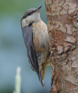 NUTHATCH ...One of two youngsters from the garden...Powys.