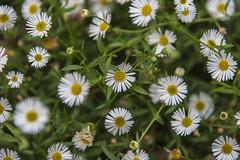 daisies (Greg Rohan) Tags: bloom blooming buds bud blur white green daisies daisy flowers flower garden d750 2018 nikon nikkor plant macro
