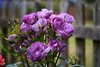 DSC_0337 (PeaTJay) Tags: nikond750 sigma reading lowerearley berkshire macro micro closeups gardens outdoors nature flora fauna plants flowers rose roses rosebuds