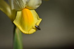 Iris (with a fly) (Orange Dean) Tags: iris flower outdoors garden fly insect wings colour macro nikon d3300