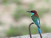 Blue-throated Bee-eater (ChongBT) Tags: nature natural wild life wildlife animal bird avian malaysia hobby ornithology watching birdwatching adult meropsviridis merops viridis blue throated bee eater beeeater coth coth5