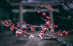 Spring Flowers (IRRphotography) Tags: tokyo japan spring cherry blossom city temple travel tourist canon bokeh dark asia jp