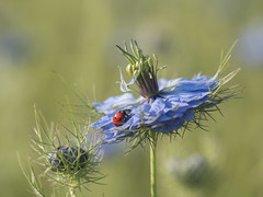 Lady et danseuse en tutu bleu *-* (Titole) Tags: coccinelle ladybug ladybird nigellededamas nigelle nigella nigelladamascena titole nicolefaton friendlychallenges storybookwinner