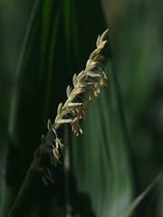 Corn Tassel (bamboosage) Tags: macro yashinon 28 ƒ60mm preset m42 11macro