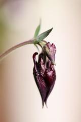 ga53 (haberlea) Tags: garden aquilegia aquilegiamagpie bud flower plant mygarden