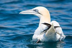 Gannet Morus bassanus At Sea (Barbara Evans 7) Tags: gannet at sea english channel off alderney uk barbara evans7