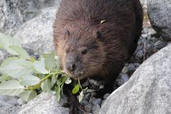 Back to the Lodge (Photocatvan) Tags: vancouver vancity falsecreek urbannature beaver