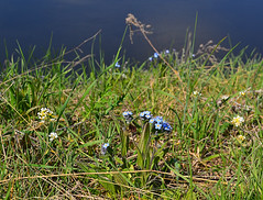 Blooming on the steep slope (МирославСтаменов) Tags: russia zhiguli mogutova meadow slope volga edge myosotis schivereckia