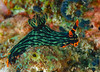 Nudibranch (Sea Slug)- Nembrotha kubaryana (oceanzam) Tags: ocean sea shore beach sand nature animal light dark color colorful green orange scuba diving diver travel holiday summer philippines muck macro shadow bright life water underwater nudibranch shoreline
